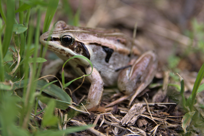 Wood frog in Fairbanks, Alaska
