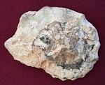 #7121 Mammites nodosoides Ammonite (cuted and polished) (13,1 cm)