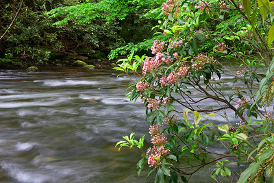 Mountain Laurel beside the Creek