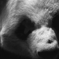 68 Zoo Atlanta 2016-Panda