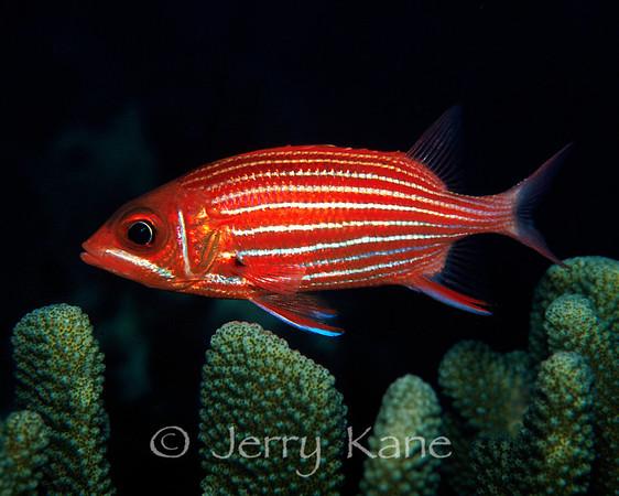 squirrelfish soldierfish bigeye sealifeimages