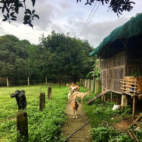 goats at the GK Enchanted Farm