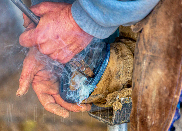 Farrier working on fitting horse shoe