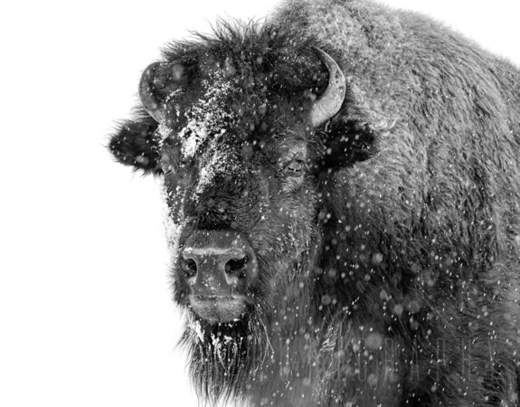 American Bison in Snow
