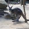 Hey I saw a kangaroo.