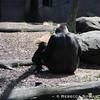Baby gorilla and mama