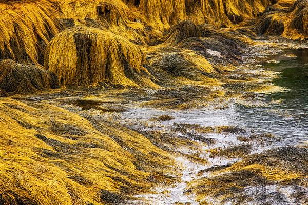 Seaweed at low tide in Peggy's Cove, Nova Scotia