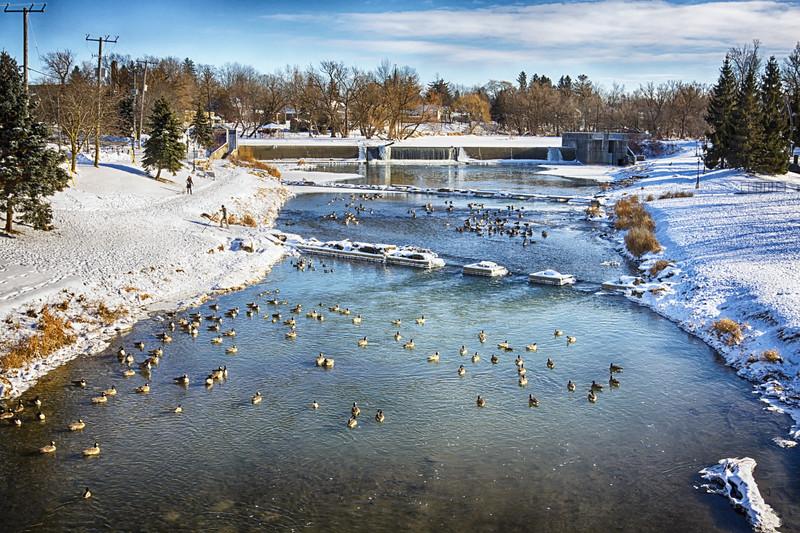 Wintering Geese in Hamburg Ontario, Canada