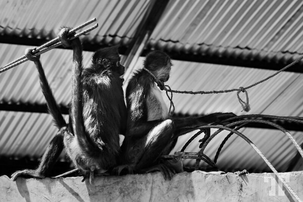 Monkeys waiting to cross the border between Guatemala and Mexico