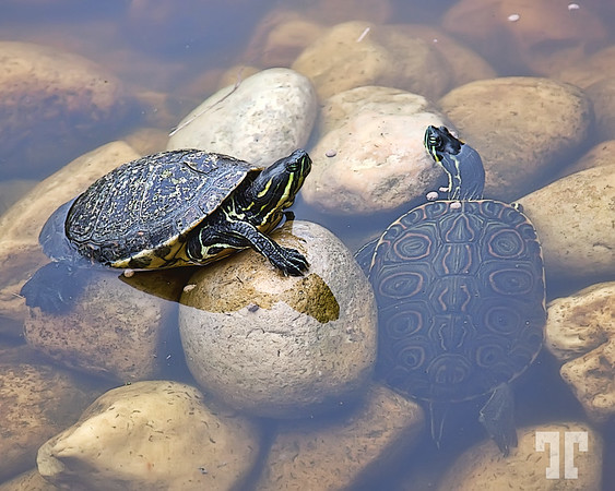 two of a kind turtles in water in Chiapas, Mexico