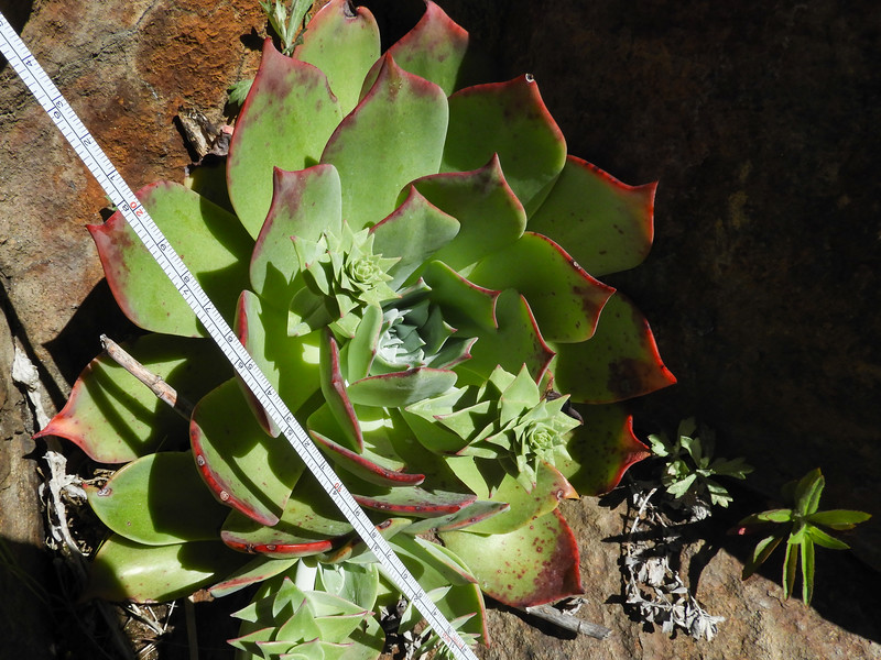 chalk dudleya thebackcountry
