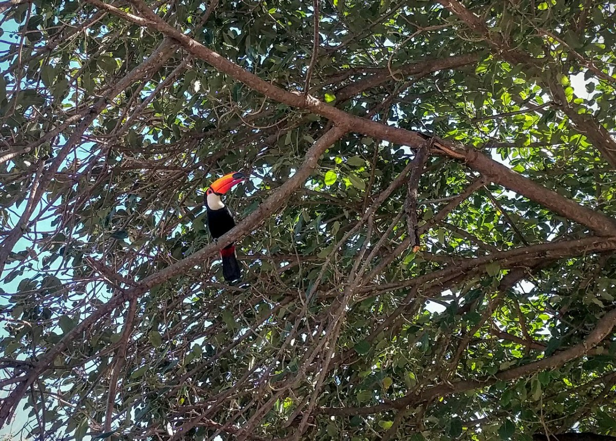 Toco Toucan Hanging Out In a Tree In San José de Chiquitos