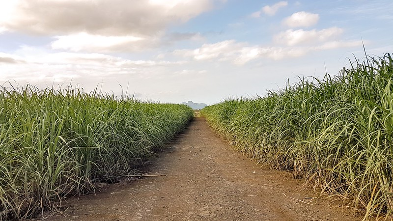 Short Guide to Mauritius - sugar cane fields