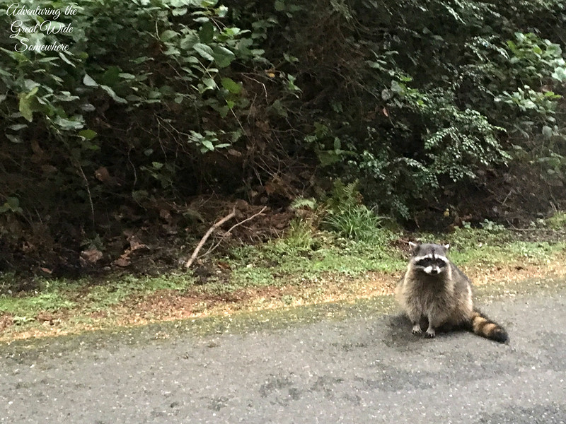 Cute Racoon on the Five Mile Drive in Tacoma, Washington
