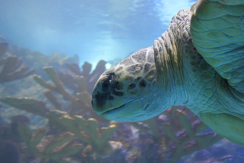 Myrtle the turtle at the New England Aquarium