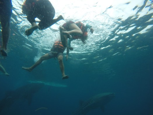 Groups of tourists swimming with whale sharks in Oslob
