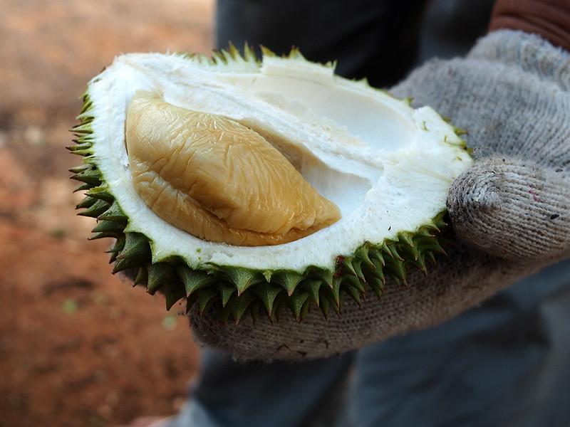 Durian tembaga hulu langat
