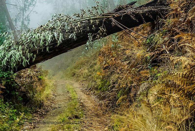 Up into the Clouds on the Dirt Road Through the Eucalyptus Forest (©simon@myeclecticimages.com)