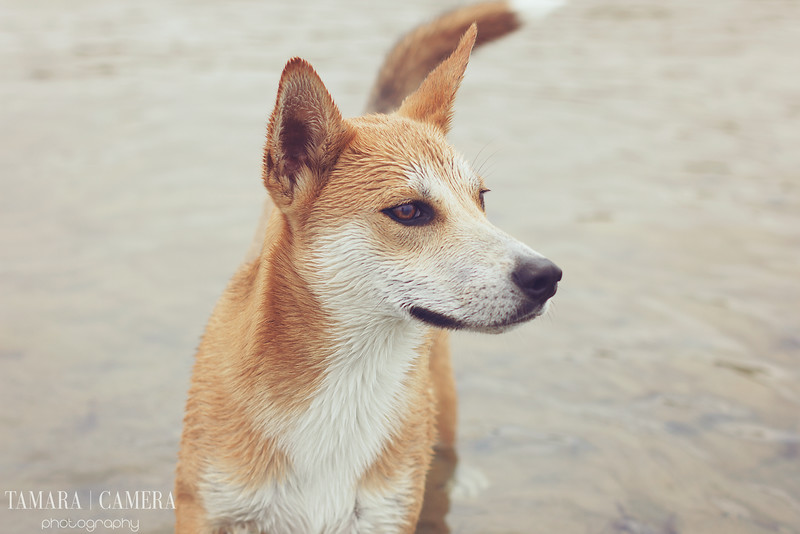 husky basenji rescue dog at the beach