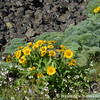 Balsamroot and woodland star
