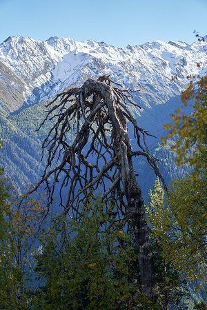 Dead dry standing wood