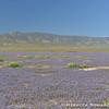 Fields of Phaecelia