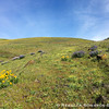 After gaining a couple hundred feet I find balsamroot and lupine.