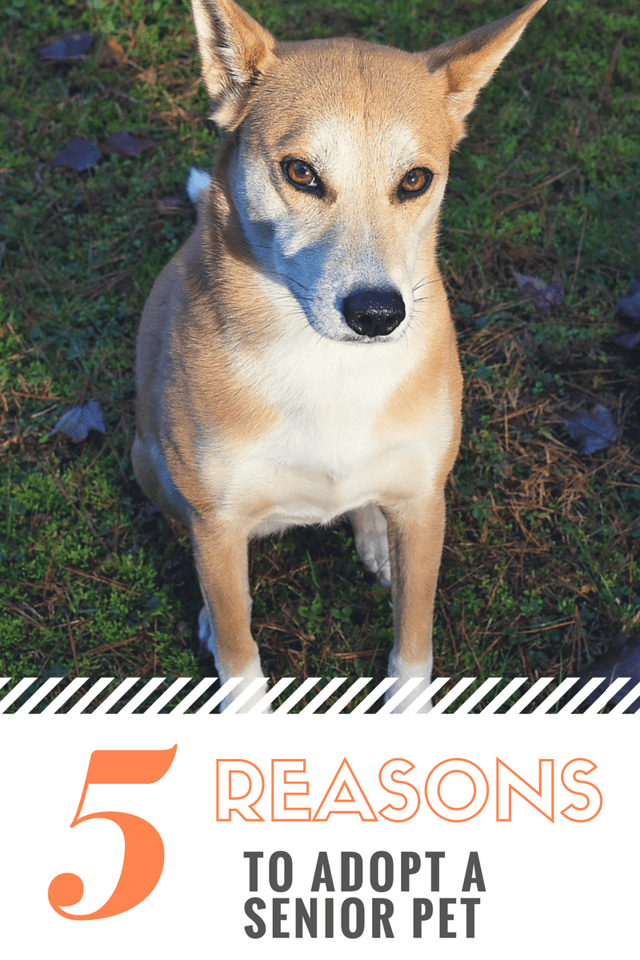 We got Athena as a rescue dog and have now researched the amazing work of Hill's Science Diet. 5 reasons to adopt a senior pet! #ad #HillsTransformingLives