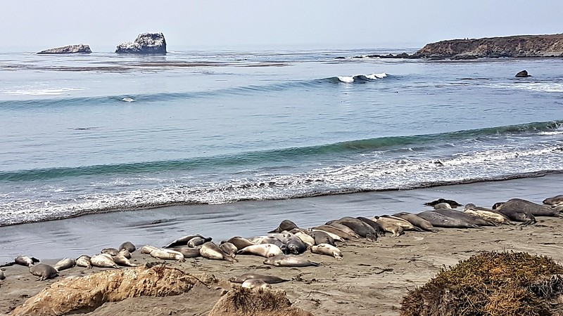 California road trip - elephant seals