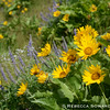 Sevenmile Hill Balsamroot
