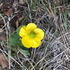 YAY WILDFLOWERS ARE BLOOMING!  I believe this is a sagebrush buttercup.