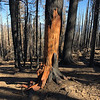 In some places the burned bark is peeling away to reveal the red wood below.