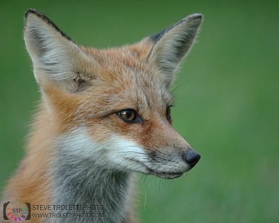 Tempus Aura Studio - Eugenie Robitaille - Steve Troletti Photography: MAMMALS / MAMMIFÈRES &emdash; Portrait of a Juvenile Red Fox / Portrait de renard roux juvénile