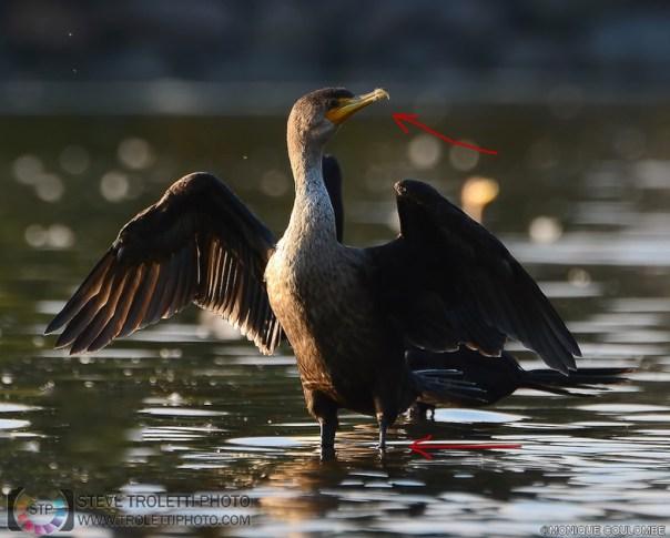 Cormoran à aigrettes avec fil de pêche au tour du bec et la patte gauche