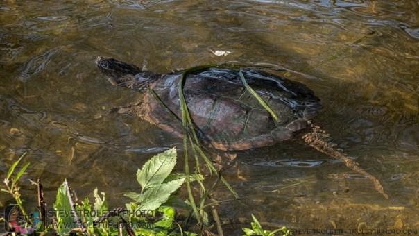 Poutine la tortue serpentine retourne rapidement dans les eaux de la rivière des prairies