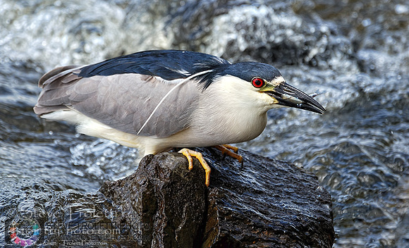 Steve Troletti Photography: HERONS, EGRETS, BITTERNS / HÉRONS, AIGRETTES et BUTORS (Ardeidae) &emdash; Black-crowned Night Heron Fishing / Bihoreau gris à la pêche