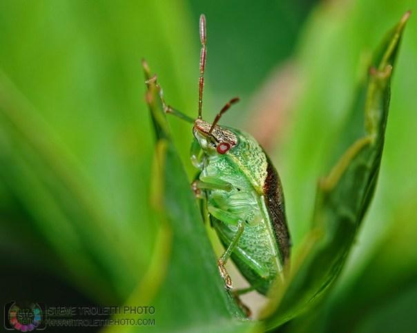 Stink Bug / Punaise diminuée (Banasa dimiata)