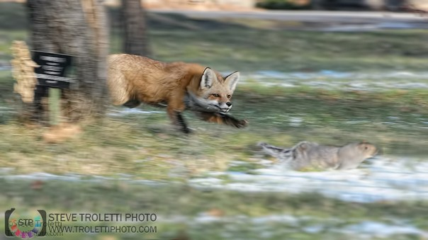 Red Fox hunting squirrel