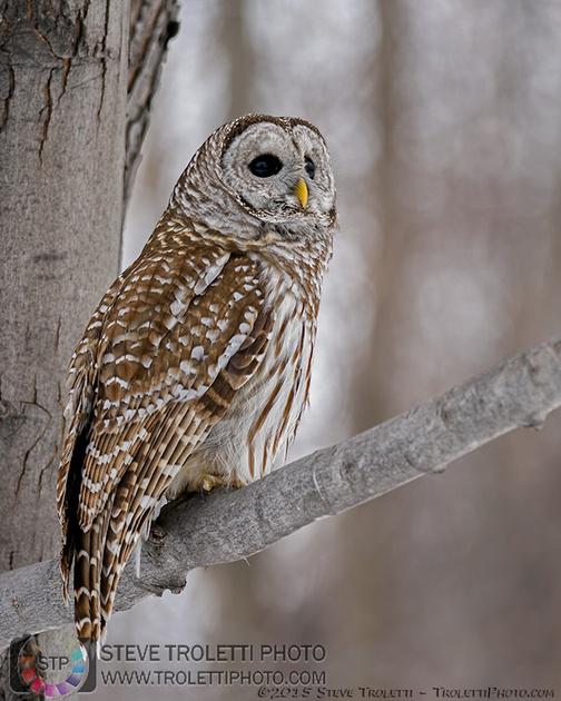Îles-de-Boucherville National Park Barred Owl