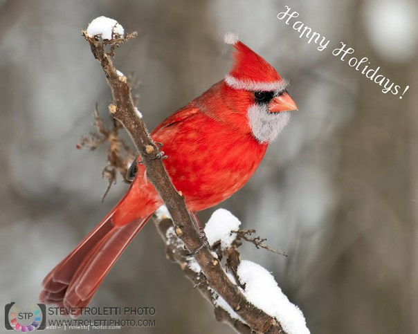 Happy Holidays from the Northern Santa Red Cardinal