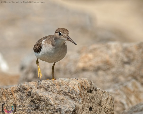 Juvenile Spotted Sandpiper on the move