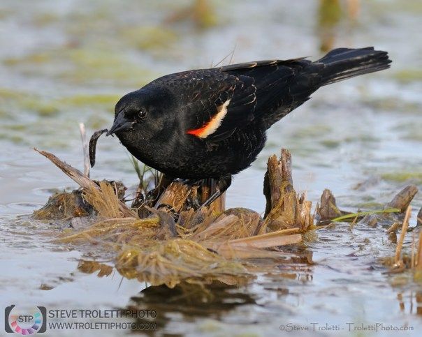 Male Red-winged Blackbird gathering food
