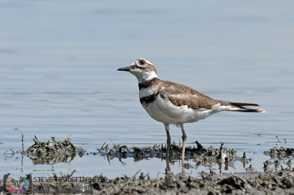 Killdeer in the water keepin on eye up on the sky!