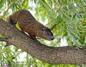 Treehog or Groundhog in a Tree? - By Steve Troletti