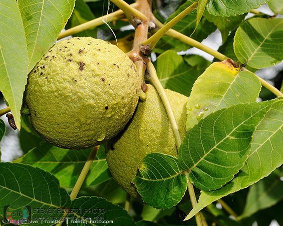 Green Black Walnut Fruit in the Tree - Photo by Steve Troletti