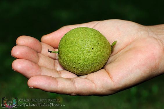 Black Walnut in Green Husk - Photo by Steve Troletti