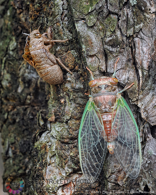 New Born Cicada drying it
