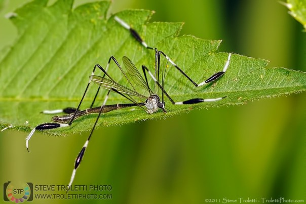 Phantom Crane Fly / Phantôme des marais - Photo by Steve Troletti