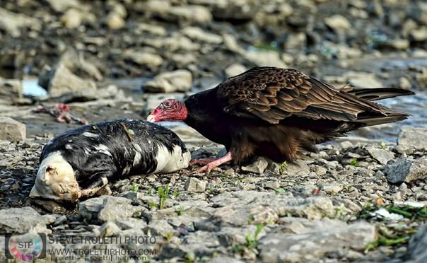 Turkey Vulture / Urubu à tête rouge by Steve Troletti