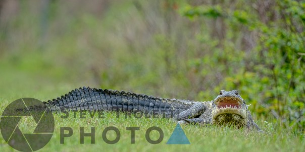 American alligator - The Guardian of the Path - by Steve Troletti